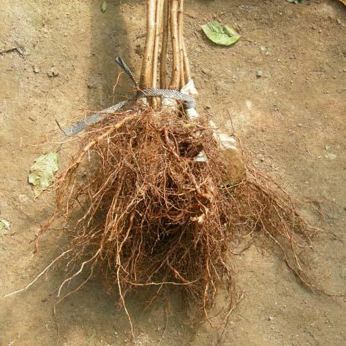접목특묘 뿌리모습
