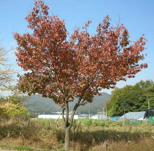 왕벚 가을단풍모습