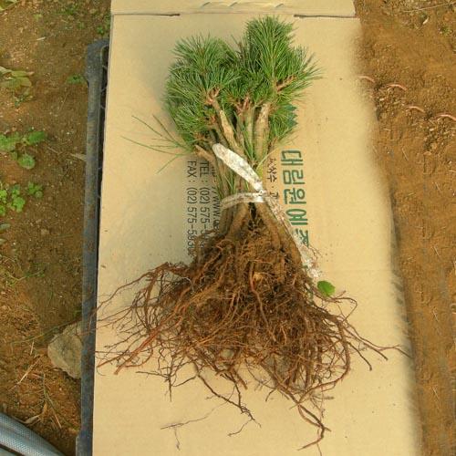 접목1년 뿌리 모습