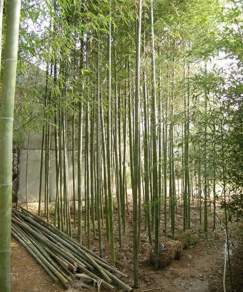 대나무(청죽) R5cm식재모습