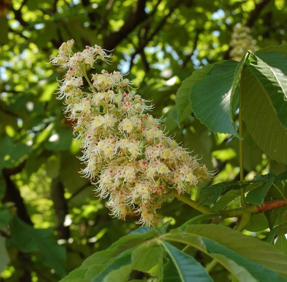 칠엽수(마로니에) 여름꽃