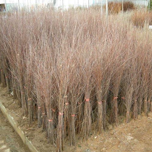자작나무 1-1묘 식재모습