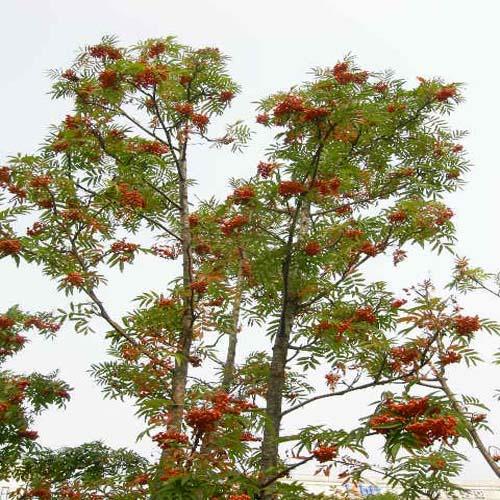 마가목 가을 열매모습