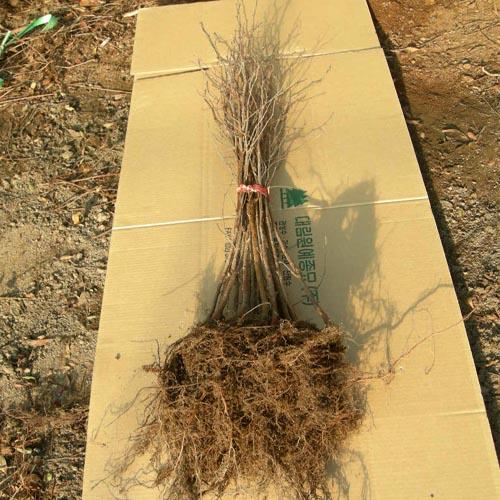 자작나무 1-1묘 뿌리모습