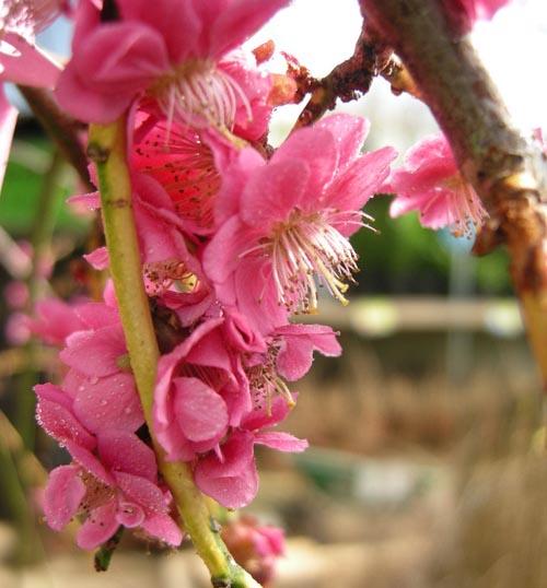 수양겹분홍매화모습