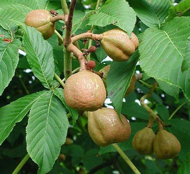 칠엽수(마로니에) 가을열매