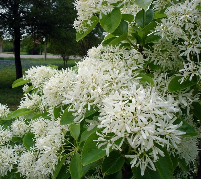 이팝나무 꽃,잎