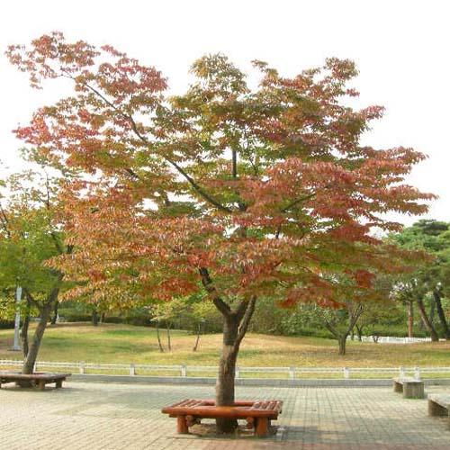가을의 느티나무수형