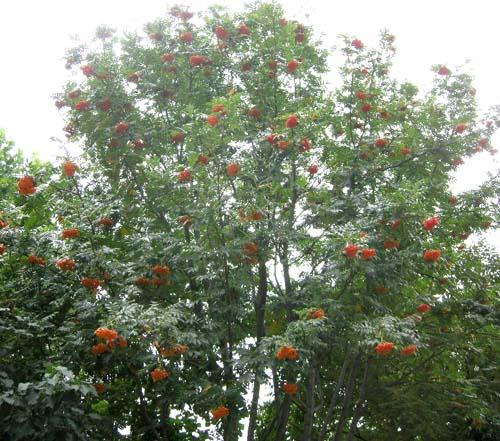 마가목 초가을 열매모습
