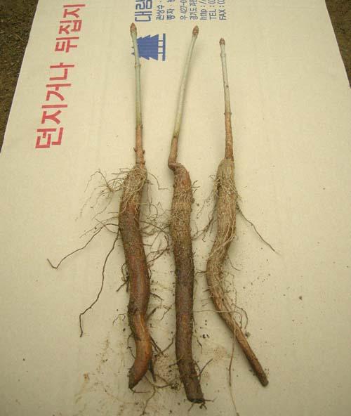 적화마로니에 묘목 뿌리모습