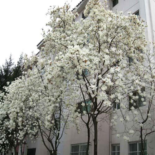 백목련 봄 개화모습