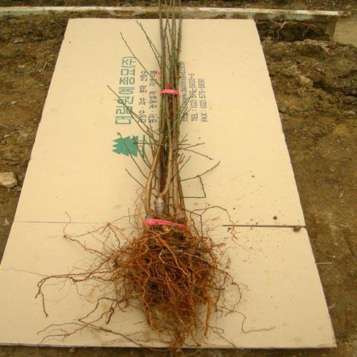 접목묘 뿌리묘목모습