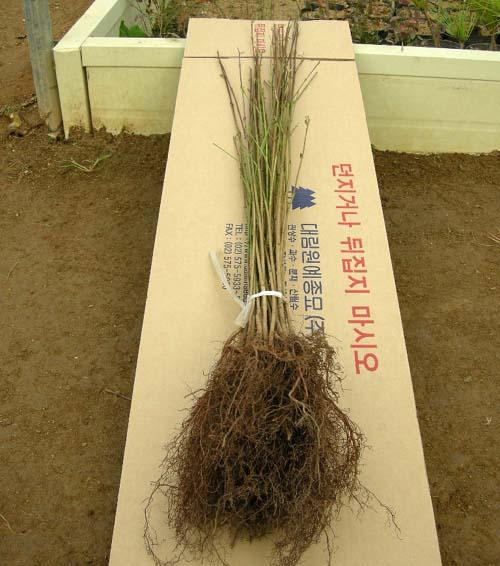 묘목뿌리 모습