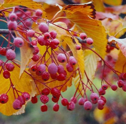 가을 잎과 열매모습