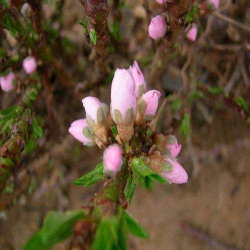 분홍 꽃봉우리모습