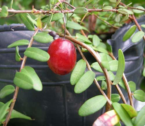 덩굴월귤 열매 모습