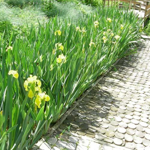 연못가 정원군식 모습(노랑꽃창포)