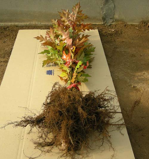 1년생 특묘 뿌리모습
