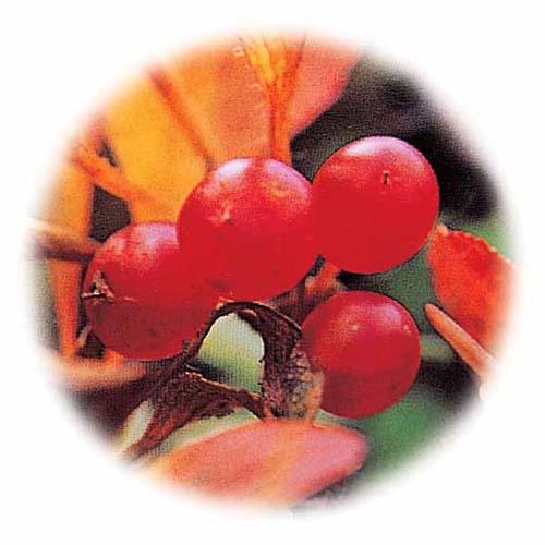 홍월귤 열매 모습