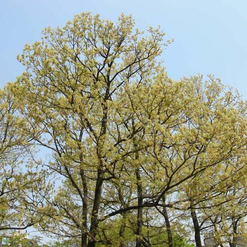 초봄의 잎과 수꽃에 모습