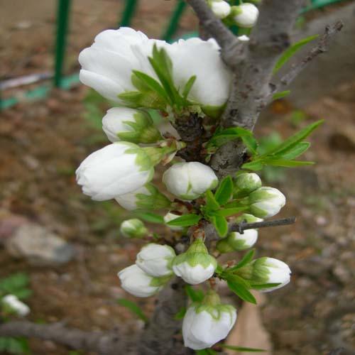 흰꽃봉오리모습