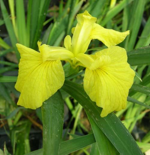 노랑꽃창포 개화 모습