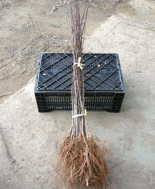 실생2년생묘목 뿌리모습