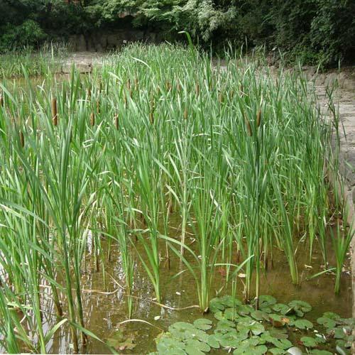 부들 연못가 식재 모습