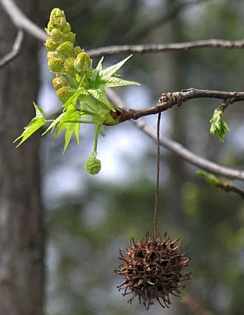 열매와 개화모습(꽃봉우리)