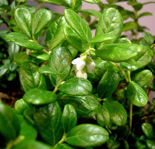월귤 잎과 꽃 근접 모습