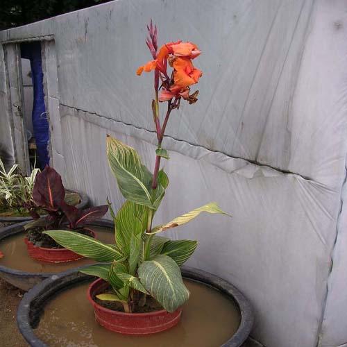 무늬물칸나 꽃