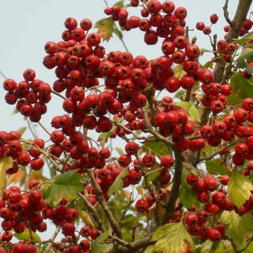 열매 근접모습