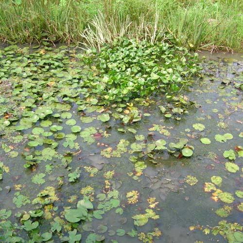 연못에 군식으로 식재된 모습