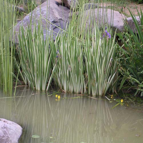 무늬꽃창포 연못 생육 모습