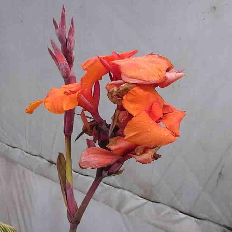 물칸나 꽃