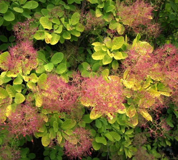황엽안개나무 골든스피릿