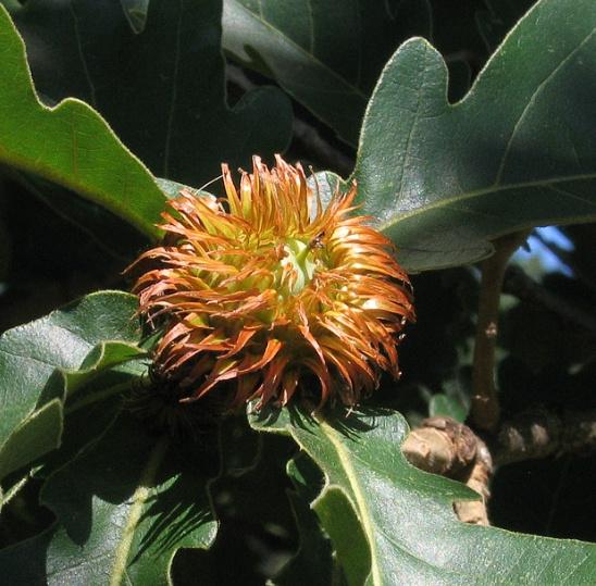 떡갈나무 열매 모습