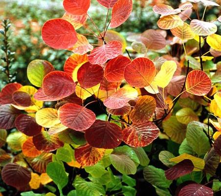 황엽안개나무 골든스피릿 단풍모습