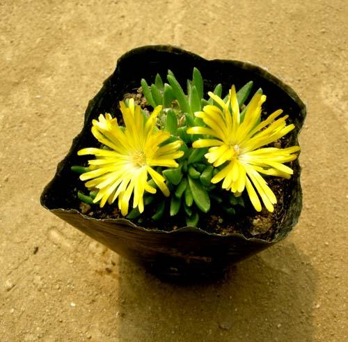 송엽국(노랑) 실제모습