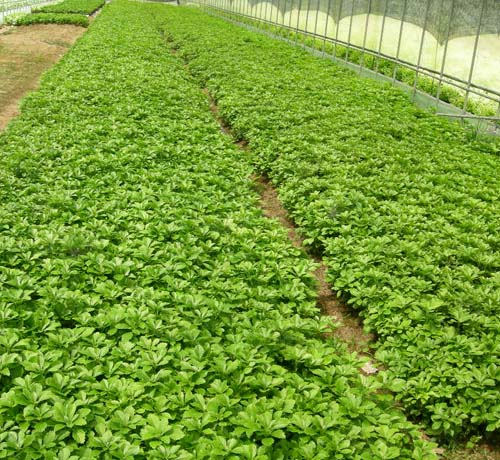 수호초 포트생육(농장)