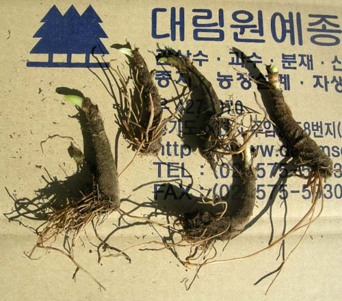 뿌리의 촉 모습(1촉)