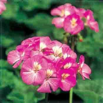 제라늄 꽃