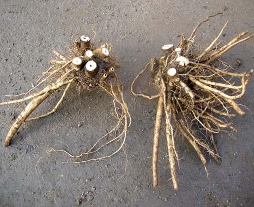 3~5 분얼 뿌리모습