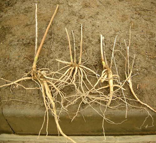 4~7분얼 뿌리모습