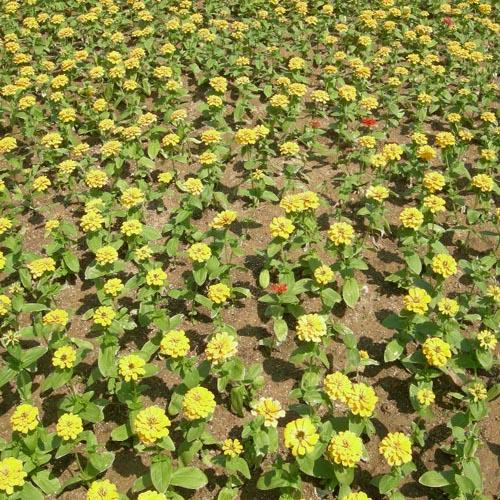 노랑계의꽃 개화모습