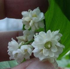 겹꽃은방울 꽃모습