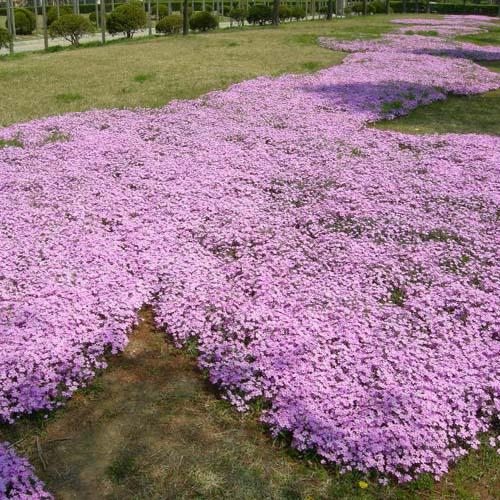 분홍 공원에 식재된 모습
