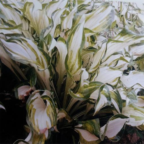 하얀무늬비비추 모습