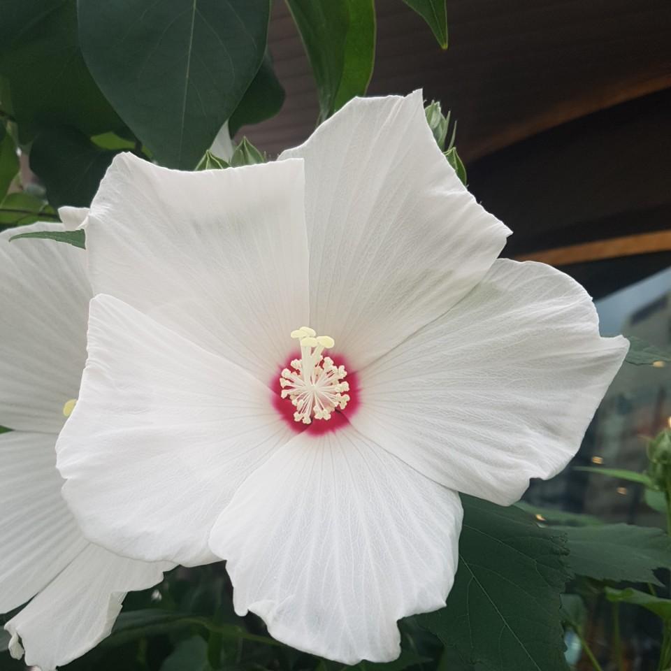 부용흰색꽃색