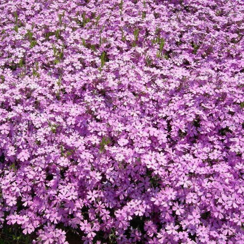 분홍 봄의 만개모습